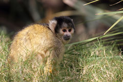 Black-capped squirrel monkey (Saimiri boliviensis). Sitting in the grass Royalty Free Stock Images