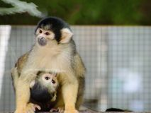 Close up image of a Squirrel Monkey holding on and feeding from its Mother. stock photos