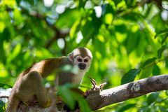A black-capped squirrel monkey sitting on a tree (Saimirinae Saimiri boliviensis).  Stock Photography