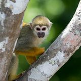 A black-capped squirrel monkey sitting on a tree (Saimirinae Saimiri boliviensis).  Royalty Free Stock Photography