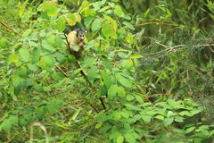Black-capped squirrel monkey Royalty Free Stock Photo