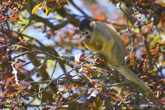 Black-capped squirrel monkey on tree Royalty Free Stock Photo