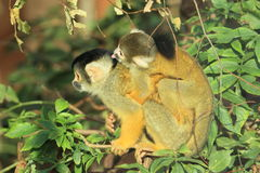 Black-capped squirrel monkeys Stock Photography