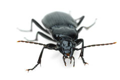 Black carabus beetle Royalty Free Stock Images