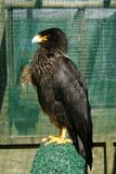 Black Caracara bird of prey Stock Images