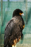 Black Caracara Highly Intelligent Bird of Prey. The large Black Caracara bird of prey, highly intelligent, feeds mainly on carrion Stock Photo
