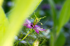 Black caraway - violet Royalty Free Stock Image