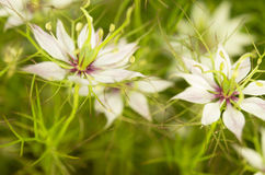 Black caraway - white Royalty Free Stock Images