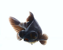 Black carp a Royalty Free Stock Images