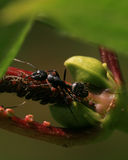 Black Carpenter Ant Royalty Free Stock Photography