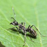 Black Carpenter Ant (Camponotus pennsylvanicus) Stock Images