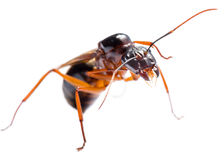 Black Carpenter Ant (Camponotus pennsylvanicus) Royalty Free Stock Photo
