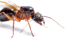 Black Carpenter Ant (Camponotus pennsylvanicus) Royalty Free Stock Images
