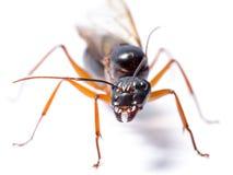 Black Carpenter Ant (Camponotus pennsylvanicus) Stock Images