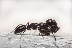 Black Carpenter Ant Macro Royalty Free Stock Photography