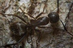 Black Carpenter Ant Macro Royalty Free Stock Photos