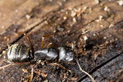 Black carpenter ant on wood. Closeup of black carpenter ant on wood Royalty Free Stock Photo