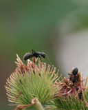 Black Carpenter Ants Royalty Free Stock Photo