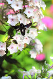 Black carpenter bee on phlox flower Stock Photo