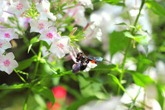 Black carpenter bee on phlox flower Royalty Free Stock Image