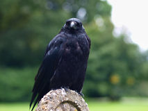 Black Carrion Crow frontal view Stock Image