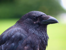 Black Carrion Crow portrait Stock Image