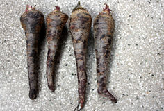Black carrot. Daucus carota, the fleshy roots are sliced and used in preparation of cooling drink Kanji in India along with spices royalty free stock photo