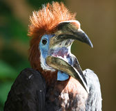 Black-casqued  blue-wattled Hornbill Young Stock Photo