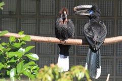 Black-casqued hornbill Stock Photo