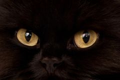 Black Cat. Macro close-up photo of a black cat yellow eyes Royalty Free Stock Images