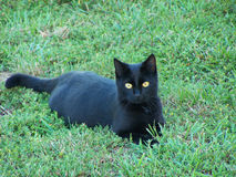 Black Cat. In Green grass stock images