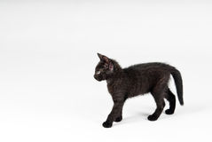 Black cat. Isolated over white royalty free stock image