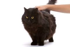 Black cat. Stock Photography