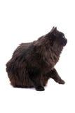 Black cat. Stock Photography