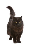 Black cat. Stock Images