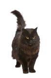 Black Cat. Stock Images