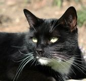 Short-haired Black Cat with White Chin Royalty Free Stock Images