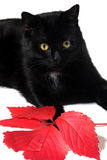 Black cat. Portrait of black cat with red leaf Stock Image