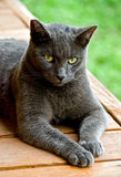 Black cat. A black cat on a patio looks toward the camera. Green lawn background royalty free stock photo