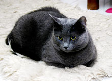 Black Cat. Black house cat with yellow eyes taking rest royalty free stock images