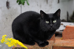 Black cat. On red bricks Stock Image
