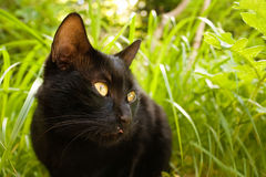 Black cat. Stalk black cat in green grass stock photography
