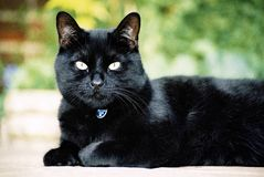 Black cat. Relaxing in the garden on a sunny day. Film scan Stock Image