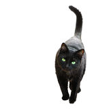 Black Cat. Playful kitten in wait for prey position Royalty Free Stock Photo