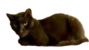 Black cat. A black cat isolated on a white background stock photography