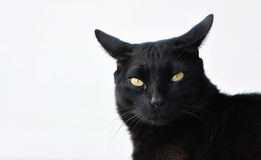 Black cat. Alerted black cat with yellow eyes Stock Photography
