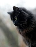 Black cat. Profile of a black cat Royalty Free Stock Photos
