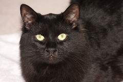 Black Cat. A black cat staring at you stock photography