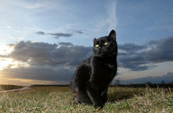 Black cat. On the meadow at sunset royalty free stock photos