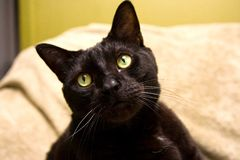 Black cat. Cute black cat with bright green eyes stock photo